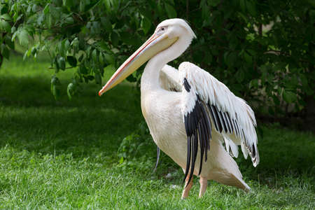 Pelican or Pink Pelican at the zoo.