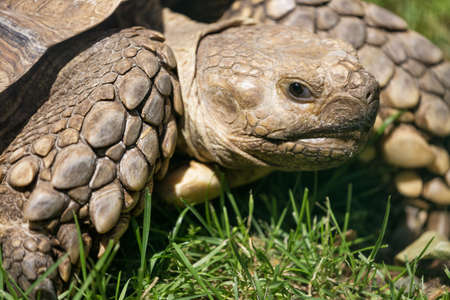 eye close up: Turtle close up in the green grass Stock Photo