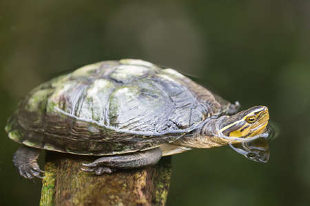centenarian: Turtle image close up in the water.