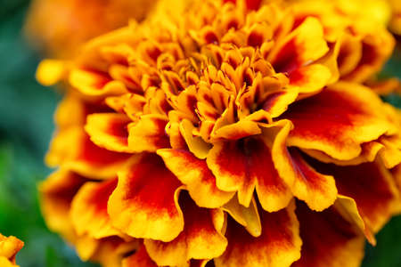 pot marigold: Blooming Tagetes flower close up. Nice natural background with selective focus.