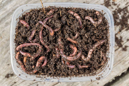 Red worms Dendrobena in a box in manure, earthworm live bait for fishing