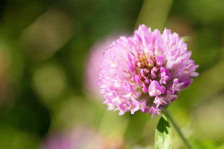 Close up of a Red Clover flower with green blurry background. Stock Photo