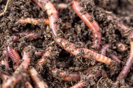 Photo macro de vers rouges Dendrobena dans le fumier, appâts vivants de vers de terre pour la pêche. Banque d'images - 82856226