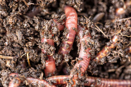 Macro shot of red worms Dendrobena in manure, earthworm live bait for fishing. Stock Photo