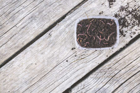 Red worms Dendrobena in a box in manure, earthworm live bait for fishing on wooden surface, Fishing concept