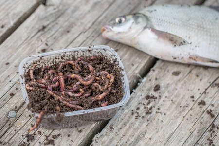 Red worms Dendrobena in a box in manure with bream fish in the background on wooden surface, Fishing concept Stock Photo