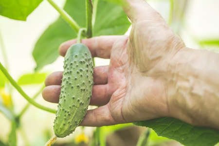 Agriculture, farming and gardening concept. Detail of wrinkled man hand holding cucumber at farm greenhouse. Selective focus Stock Photo