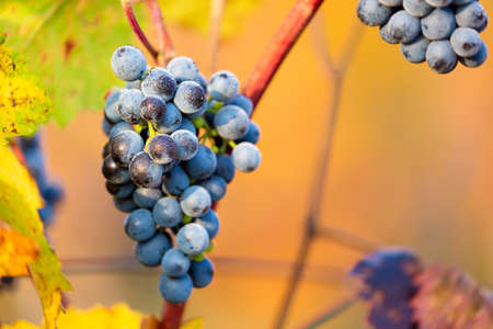 moravia: Ripe bunches of dark red grapes with frost and drops under nice light during sunrise, autumn harvesting of grapes in South Moravia, Czech Republic. Winegrowing concept Stock Photo