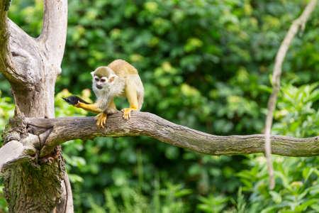 Portrait of squirrel monkey Saimiri sciureus sitting on a tree branch. Stock Photo