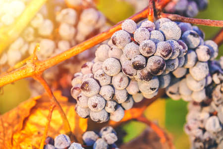 Ripe bunches of dark red grapes with frost and drops under nice light during sunrise, autumn harvesting of grapes in South Moravia, Czech Republic. Winegrowing concept Stock Photo