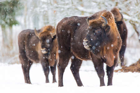 Large brown bisons Wisent family near winter forest with snow. Herd Of European Aurochs Bison, Bison Bonasus. Nature habitat. Selective focus
