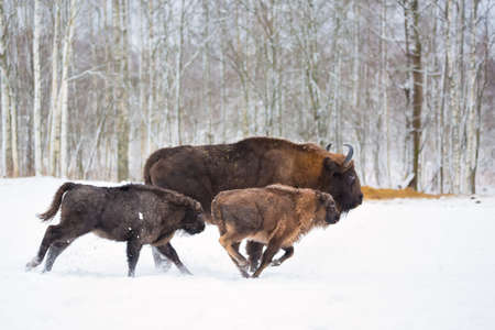Large brown bisons Wisent running in winter forest with snow. Herd Of European Aurochs Bison, Bison Bonasus. Nature habitat. Selective focus. Stock Photo