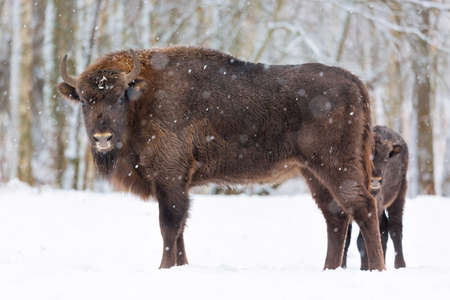Large brown bisons Wisent family near winter forest with snow. Little bison is hiding behind her mother. Herd Of European Aurochs Bison, Bison Bonasus. Nature habitat. Selective focus Stock Photo