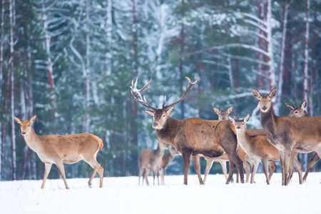 Winter wildlife landscape with noble deers Cervus Elaphus. Many deers in winter. Deer with large Horns with snow on the foreground and looking at camera. Natural habitat