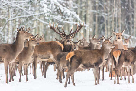 Winter wildlife landscape with noble deers Cervus Elaphus. Many deers in winter. Deer with large Horns with snow on the foreground and looking at camera. Natural habitat. Selective focus