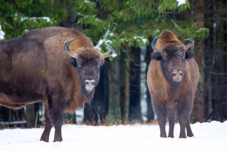 Large brown bisons Wisent group near winter forest with snow. Herd Of European Aurochs Bison, Bison Bonasus. Nature habitat. Selective focus Stock Photo