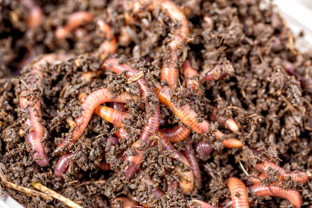 Macro shot of red worms Dendrobena in manure, earthworm live bait for fishing Stock Photo