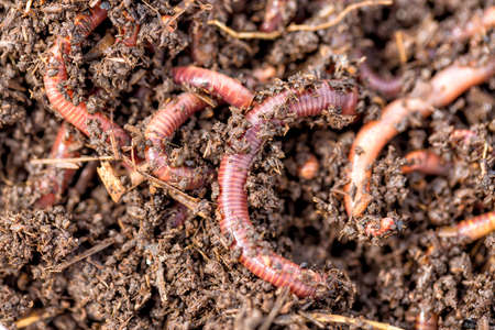 Macro shot of red worms Dendrobena in manure, earthworm live bait for fishing Banque d'images