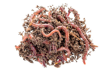 Macro shot of red worms Dendrobena in manure, earthworm live bait for fishing isolated on white background Stock Photo