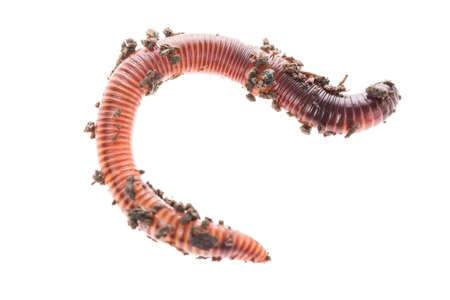 Macro shot of red worm Dendrobena in manure, earthworm live bait for fishing isolated on white background Banque d'images