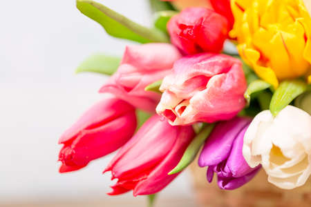Colorful tulip flowers and mimosa bush in basket as greeting card. Mothersday or spring concept. Imagens