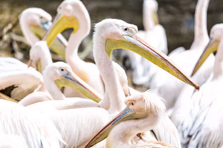 Pelican or Pink Pelican group or family outdoors