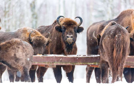 Large brown bisons Wisent group feeding near winter forest with snow. Herd Of European Aurochs Bison, Bison Bonasus. Nature habitat. Selective focus Stock Photo