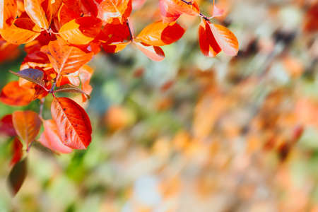 Colorful autumn leaves branch natural background. Colorful red and yellow autumn foliage with blurred background.