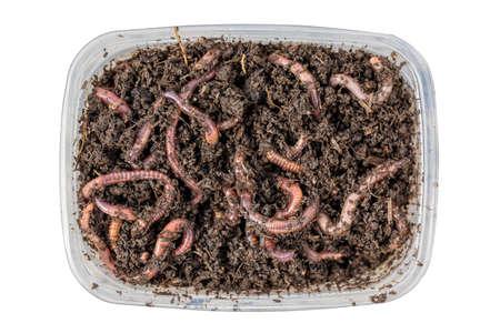 Vermi rossi Dendrobena in una scatola in letame, esca viva di lombrichi per la pesca isolata su fondo bianco. Primo piano e vista dall'alto