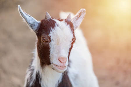 Close up portrait of cute Cameroon goatling animal with sunlight looking at camera.