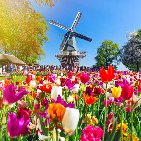 Blooming colorful tulips flowerbed in public flower garden with windmill. Popular tourist site. Lisse, Holland, Netherlands 版權商用圖片