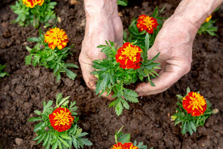 Hands of elderly man planting a flower into the soil of a flowerbed. Ecology spring background concept