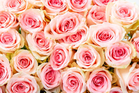 Bright pink natural roses as a background