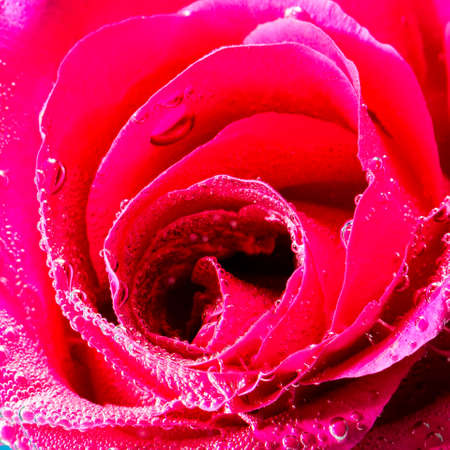 Amazing macro shot of beautiful pink rose with bubbles. Close up image of rose details