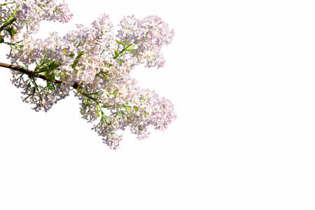Lilac branch isolated on a white background