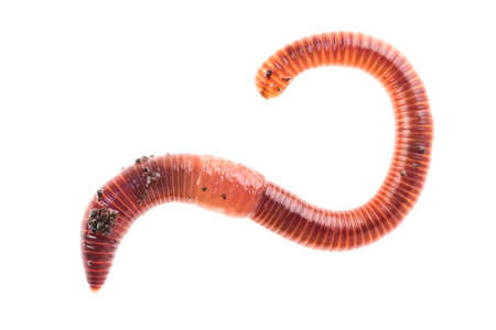 Macro shot of red worm Dendrobena in manure, earthworm live bait for fishing isolated on white background Stock Photo