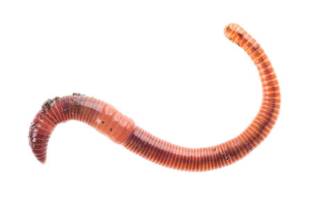 Macro shot of red worm Dendrobena earthworm live bait for fishing isolated on white background