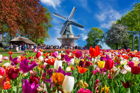 Blooming colorful tulips flowerbed in public flower garden with windmill. Popular tourist site. Lisse, Holland, Netherlands Stock Photo