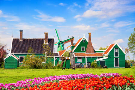 Dutch typical landscape. Traditional old dutch windmill with old houses and tulips against blue cloudy sky in the Zaanse Schans village, Netherlands. Sheep grazing on green grass