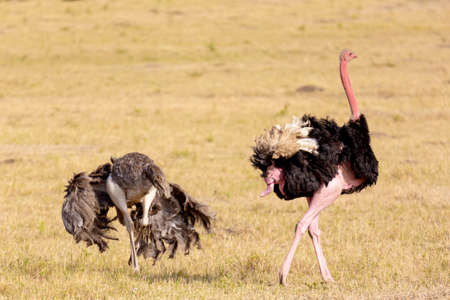Animal wildlife. Ostriches after making love. Masai Mara national park, Kenya, Africa