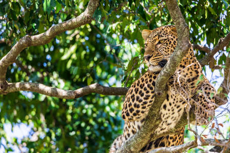A closeup portrait of leopard on a tree inside Masai Mara national park reserve. Wildlife safari in Kenya, Africa