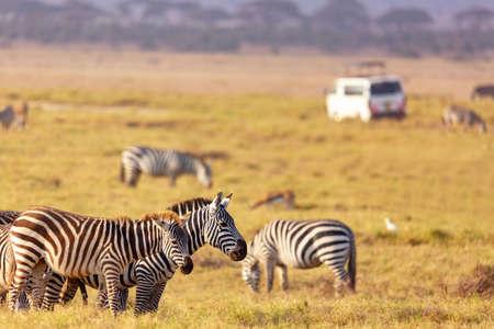 Safari concept. Zebra with safari car in african savannah. Masai Mara national park, Kenya