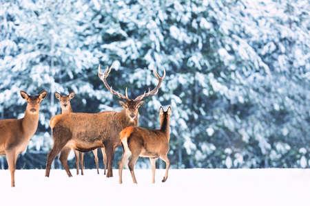 Image artistique de la nature de Noël hiver. Paysage de faune d'hiver avec des cerfs nobles Cervus Elaphus. Beaucoup de cerfs en hiver