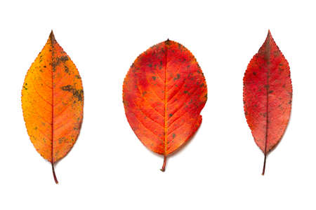Beautiful colorful autumn leaves isolated on white background. 写真素材