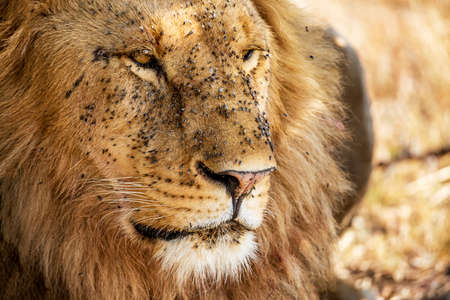 Portrait of male Lion covered with flies in Masai Mara, Kenya, Africa