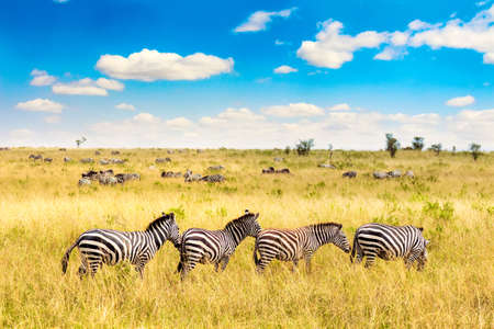 African landscape. Zebra in african savannah in Masai Mara National park. Kenya, Africa Foto de archivo