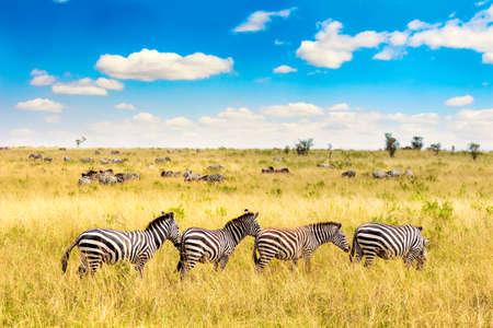 Paisaje africano. Cebra en la sabana africana en el parque nacional de Masai Mara. Kenia, Africa Foto de archivo