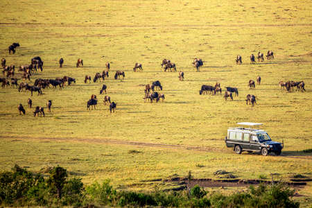 Safari concept. Safari car with wildebeests in african savannah. Masai Mara national park, Kenya