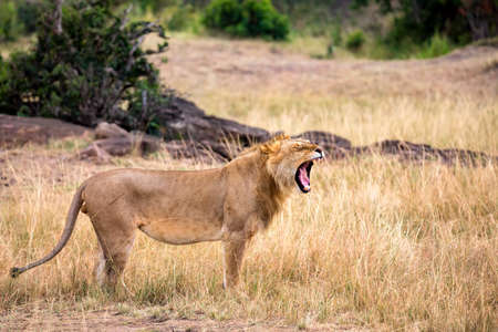 Lion portrait with opened mouth in the Masai Mara national park, Kenya. Animal wildlife.