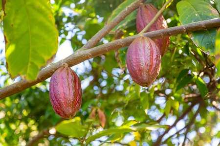 Organic cocoa fruit pods on a tree in Dominican Republic